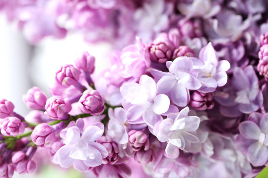 Blooming purple lilac flowers background, close up