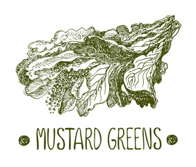 Mustard green. Vector hand drawn graphic illustration. Sketchy style.
