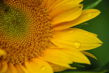 Sunflower closeup background and texture