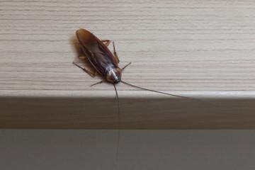 Cockroache on nature floor.