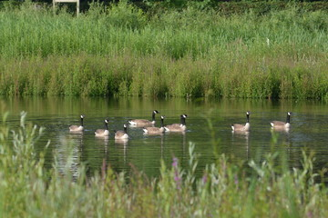 Canada geese or Branta Canadensis