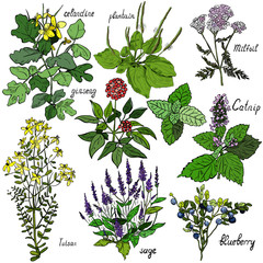 Set of vector images of medicinal plants