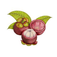 Hand drawn botanical illustration of mangosteen