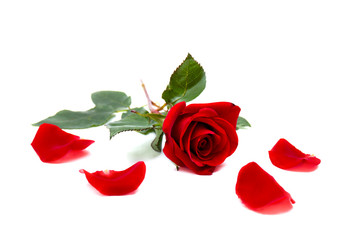 Red rose and petals on a white background with space for text
