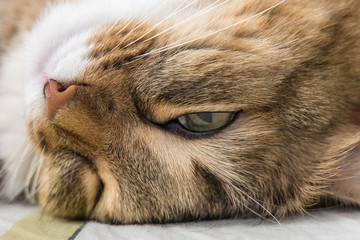 Funny sleeping cat's face closeup photo