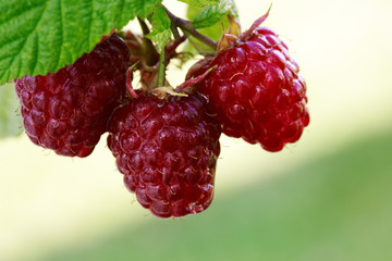 Close-up of the ripe raspberry in the fruit garden.