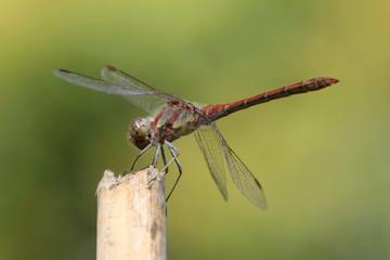 Single dragonfly close up