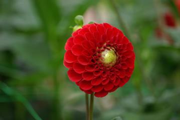 Dahlia pompon rouge en été, parc floral Paris