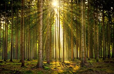 Sonnenstrahlen in lichtdurchflutetem Wald im Nebel bei Sonnenaufgang