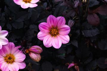 Pink flower on balck