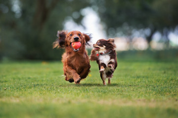 two adorable small dogs playing outdoors together