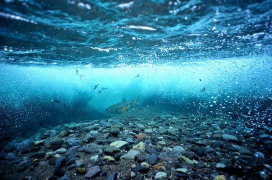 カラフトマスの居る知床の川底