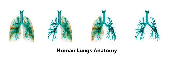 Human Lungs Inside Anatomy (Larynx, Trachea, Bronchioles)