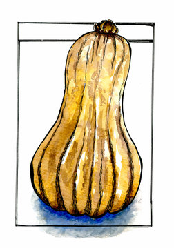 Illustration of Butternut Squash on white background.  Hand drawn watercolor food illustration