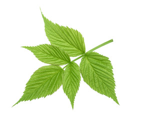 Raspberry leaf isolated without shadow
