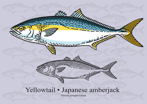 Yelowtail Fish (Japenese Amberjack). Vector illustration for artwork in small sizes. Suitable for graphic and packaging design, educational examples, web, etc.