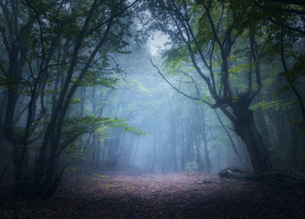 Fotobehang Bossen Forest in fog. Enchanted autumn forest in fog in the morning. Old Tree. Beautiful landscape with trees, colorful green leaves and blue fog. Nature background. Dark foggy forest with magic atmosphere