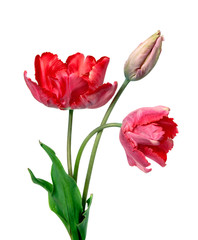 Tulip. Pinktulips, bouquet of tulips