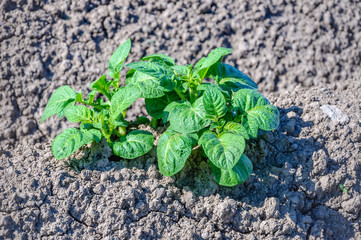 Green fresh young potato plants growing in dry clay soil