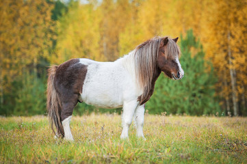 Painted shetland pony standing on the field in autumn