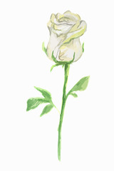 Isolated watercolor white rose on white background. Wonderful and dainty flower.