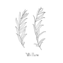 Hand drawn willow twigs. Graphic sketch. Vector.