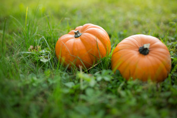 Pumpkin season is starting: Fresh and organic pumpkins of different kinds, symbol of upcoming autumn and thanksgiving