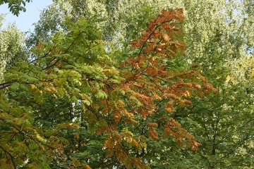 Autumn leaves of mountain ash