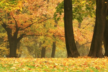 gold colored trees in a park full of autumn leaves