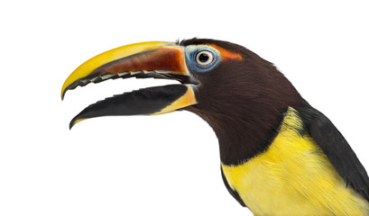 Green aracari opening his beak isolated on white Wall mural