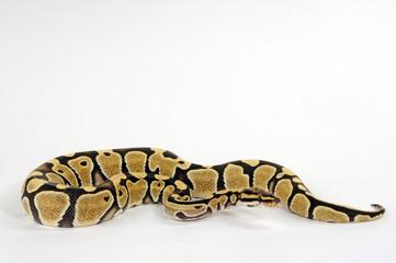 Königspython (Python regius) Farbmorphe Desert Ghost