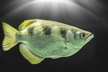 Fish with black background