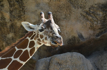 Giraffe with an Angry Face