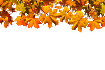 Autumn nature background with free space for text -colorful orange autumn maple leaves isolated on the white background.