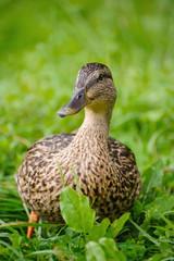 Duck standing in green grass..