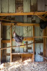 A backyard chicken coop in Austin, Texas houses a handful of chickens and provides daily eggs for a family.