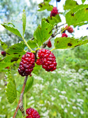 Mulberry berries on a branch