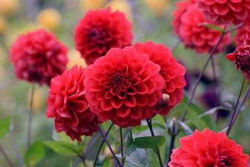 Beautiful red flowers. Dahlia Arnhem