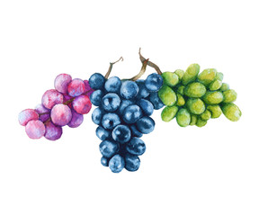 Three branches of grapes. Black, pink and green. Isolated on a white background. Watercolor illustration.