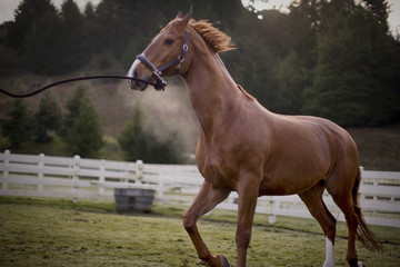 Brown horse galloping in a fenced paddock.
