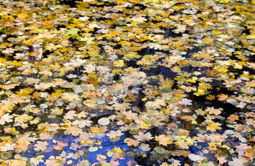 Beautiful autumnal maple leaves and of filbert in water