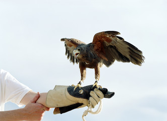 Bird of prey perched on a falconers gloved hand with its wings spread.
