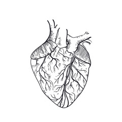 Vector hand drawn anatomic human heart.