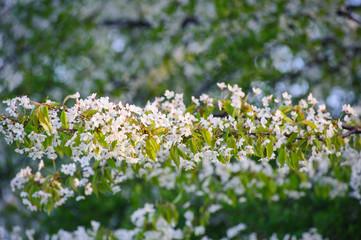 Piękne kwitnące drzewa wiśni