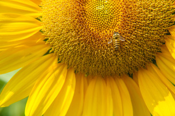Sunflower and bee closeup background and texture