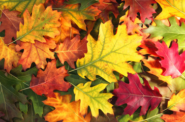Artistic colorful oak autumn season leaves background.