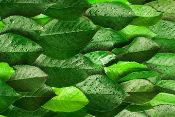 Green leaves texture, bright background. Fresh foliage with water drops. horizontal lines composition
