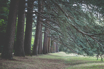Cedar Forest with old big Trees and a Hiking Trail in Southern France.Cinematic Look.
