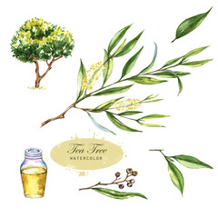 Hand-drawn botanical illustration of the tea tree. Cosmetics and medical plant. Flowers, leaves, branches drawings and oil bottle, isolated on the white background.