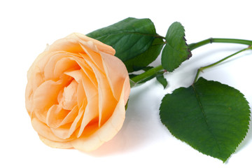 Peach rose with leaves isolated on white background